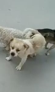 这三只狗的姿势有些怪