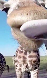 长颈鹿的舌吻你敢接吗?
