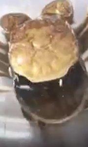 螃蟹换壳的过程……