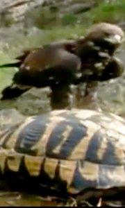 乌龟缩壳仍被老鹰巧妙猎杀