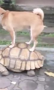 狗狗淡定站龟壳上溜乌龟
