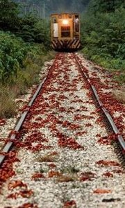 千万只红蟹遭蚂蚁群猎杀