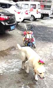 哈!这狗狗不仅爱美,还会拉车!