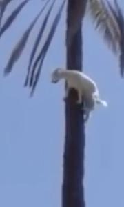 羊爬到树梢却下不来了