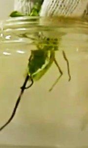 蟑螂泡盐水竟被逼出铁线虫