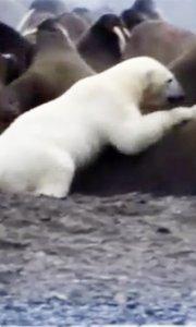 北极熊饿疯单挑大群海象