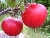 孕妇可以吃苹果