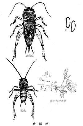 蟋蟀的画法简笔画