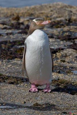 超级会员黄企鹅头像