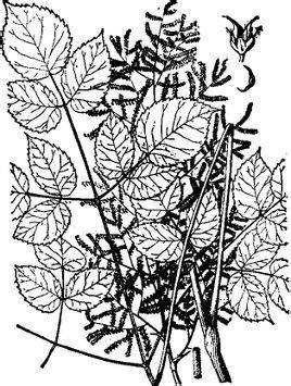 手绘蔷薇花黑白 黑白色