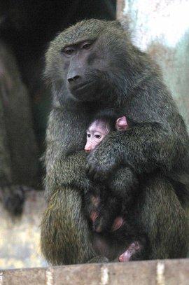 基本信息 中文名称 绿狒狒 亚门 脊椎动物亚门 分布区域 产于马利
