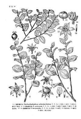 岩生珠子木