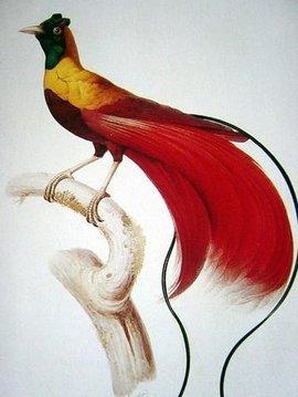 极乐鸟qq_天堂鸟_360百科