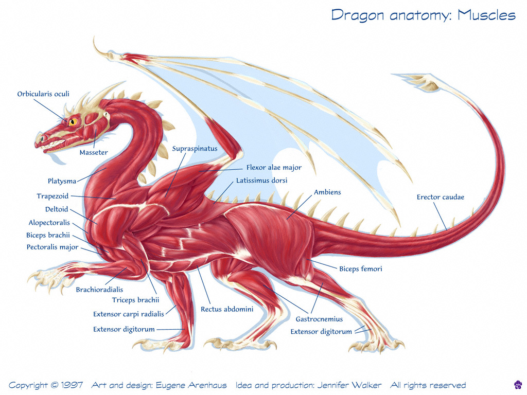 anatomy龙的肌肉组织结构图