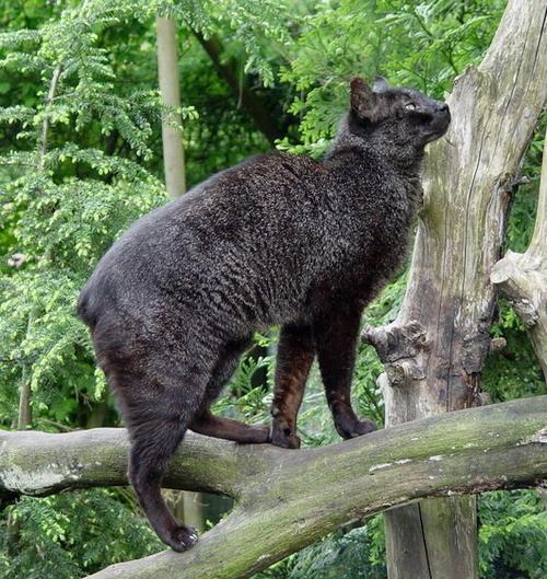 重点保护野生动物名录>将丛林猫划为Ⅱ级保护对象