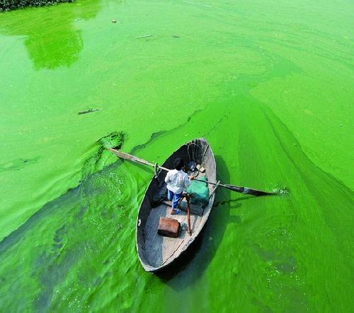 所有的蓝藻都含有一种特殊蓝藻(蓝细菌)的蓝色色素