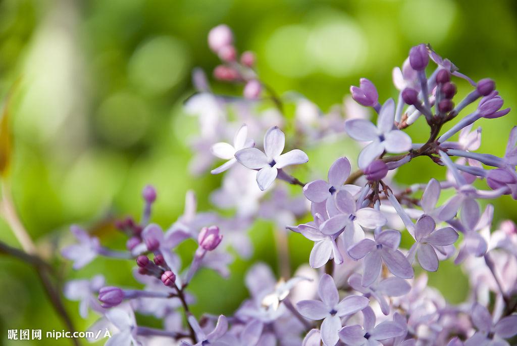 折叠 编辑本段 基本简介 植物名:紫丁香 学名:syringa oblata 英文名