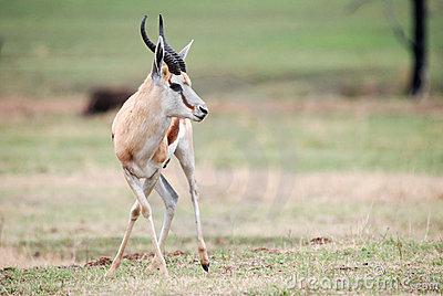 非洲动物跳羚图片