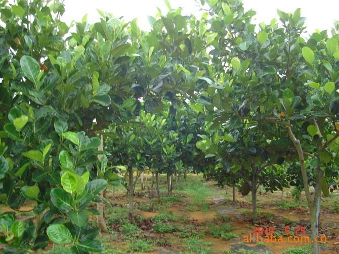 海南热带果树--菠萝蜜,(木菠萝)马来西亚1号苗