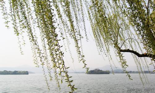 垂柳 柳树 树 502_300