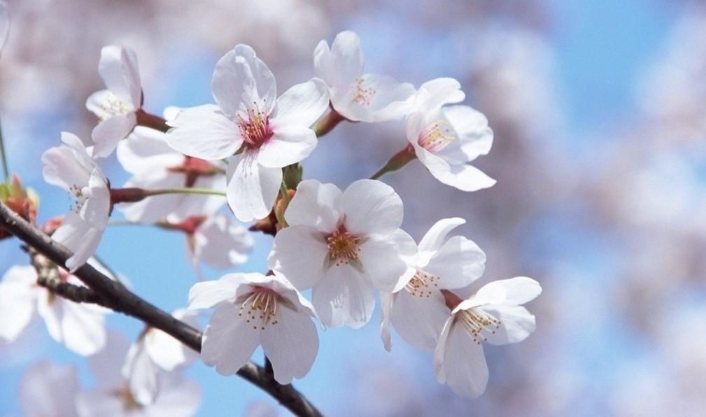 之001 春来花枝俏本帖最后由 设计资深菜鸟 于 2016 4 20 21 26 编辑 该花原产北半球温带环喜马拉雅山地区,在世界各地都有生长 花每枝3到5朵