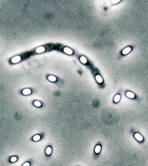 芽孢杆菌手绘图