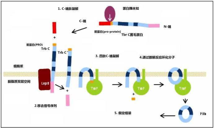 蛋白质的一级结构二硫键
