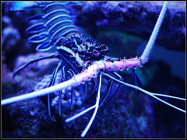 节肢动物 虾 白须龙虾_节肢动物 虾 白须龙虾
