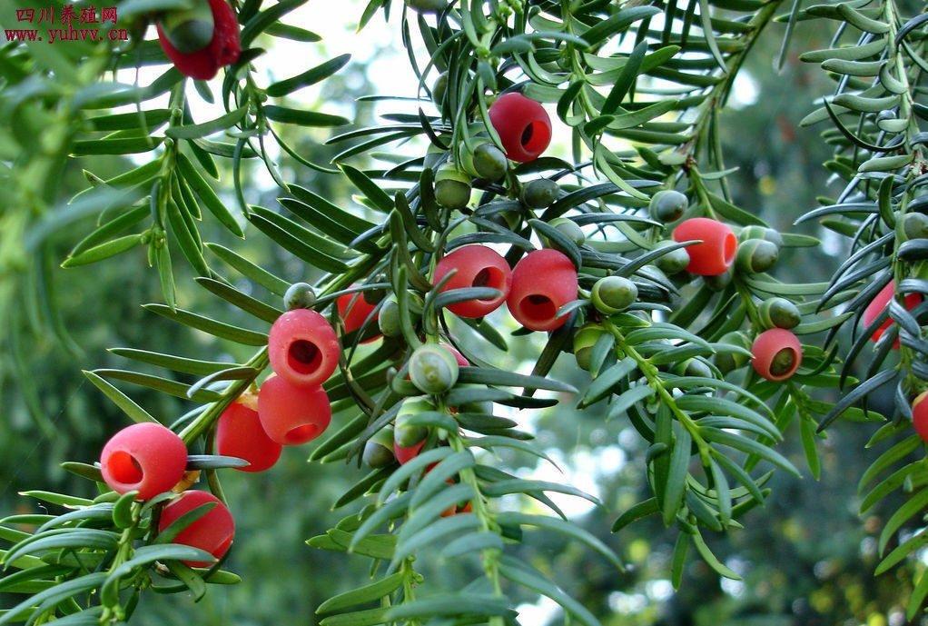 红豆衫植物图片